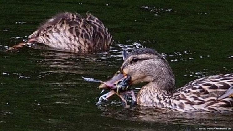 Patos silvestres mantando aves