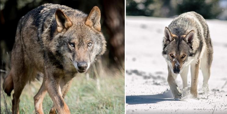 A la izquierda, lobo ibérico. A la derecha, perro lobo checoslovaco. Foto: Shutterstock