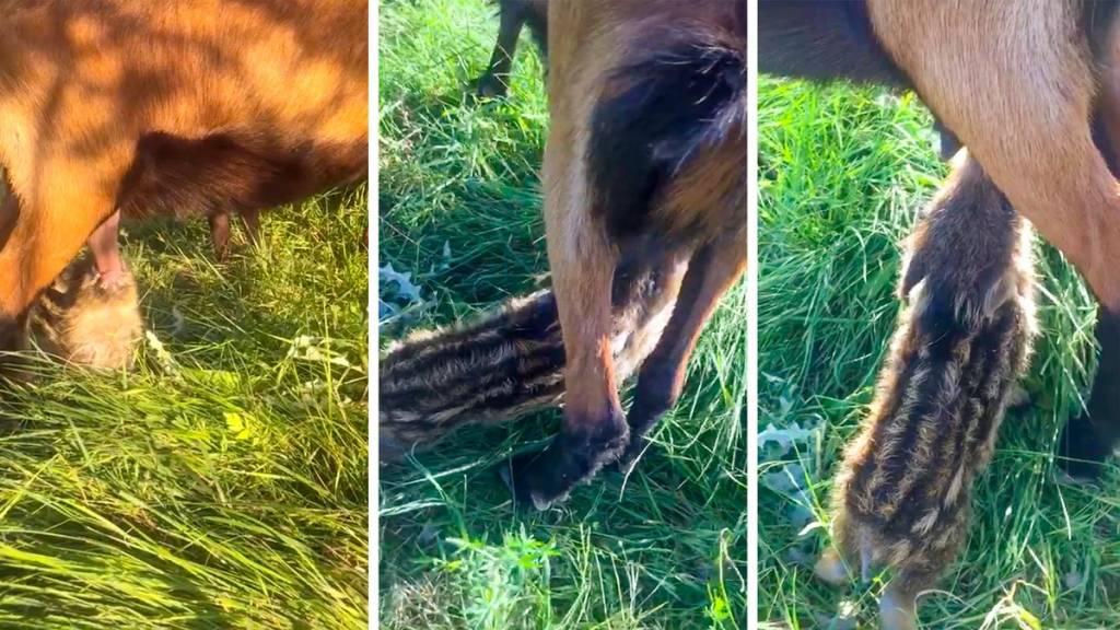 Graban a una cría de jabalí amamantándose de una cabra