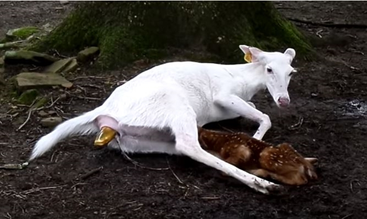 Cierva albina durante el parto / Fotografía: www.youtube.com