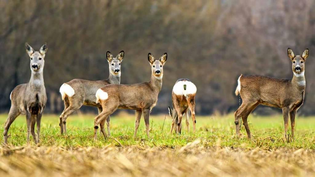 corzas orden de vedas de caza Galicia 2020/2021